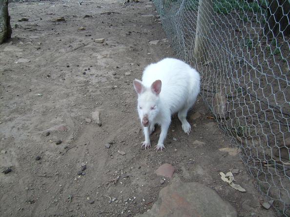 Un canguro albino, che sia un nuovo libro per Toffler?