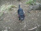 Il Diavolo della Tasmania