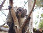 Si, un Koala