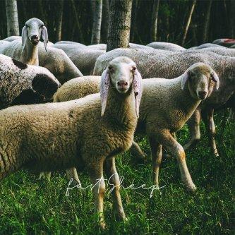 Fast sheep