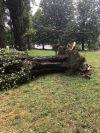 L'albero divelto